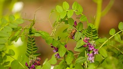 Secret Life (Yasmine Hens) Tags: flowers macro green nature fleur rose insect europa flickr belgium sony ngc vert secretlife namur hens yasmine wallonie rx10 iamflickr flickrunitedaward hensyasmine sonydscrx10m3