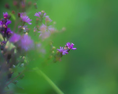 Color in the Ditch... (zoomclic) Tags: pink plant flower green closeup canon colorful soft dof purple bokeh s foliage forgotten dreamy wildflower saveearth 200mm28l 5dmarkii zoomclicphotography