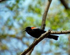 Carouge paulettes (Alan McCollough) Tags: birds oiseaux domaine maizeret