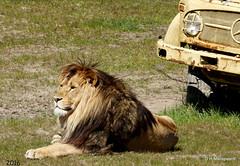 Lion King (ditmaliepaard) Tags: sony bergen lionking leeuw hilvarenbeek a6000 safariparkbeekse