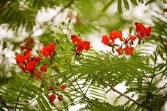 Royal poinciana (Zahid - Thanks for the views ,Favs and comments) Tags: red sky greenleaves flower green leaves leaf petals blossom bokeh vibrant may royal depthoffield foliage dhaka bud bangladesh summerflower poinciana redpetals delonix krishnachura royalpoinciana  dhanmondilakeside