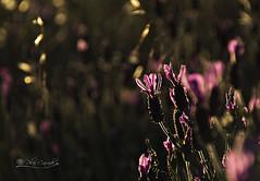 19/52. Blacklight (Panthea616) Tags: flores luz blacklight lavanda 52weeks 52semanas 52weekphotography2016
