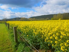 Not An Ordinary Fence (Helen) Tags: flowers sky france field yellow fence landscape outdoor plantation normandy raps giverny canola blooming rapeseed rapa rappi rapeseedfields fencefriday samsunggalaxys7edge samsungsmg935a