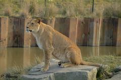Leeuw/ Lion (pclaesen) Tags: holland netherlands animal animals photography zoo ngc lion nederland bigcat bigcats beeksebergen dierentuin leeuw nikond3200 hilvarenbeek pantheraleoleo flickrbigcats nikon55300mm