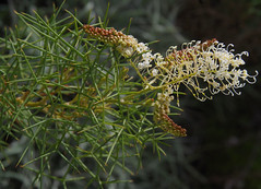 Grevillea leucoclada, Kings Park, Perth, WA, 30/04/16 (Russell Cumming) Tags: plant perth kingspark westernaustralia grevillea proteaceae grevillealeucoclada