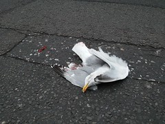 dead seagull, margate, 2016-05-02, 18-17-53 (tributory) Tags: life road street white black bird nature death grey flying seaside blood highway traffic accident decay wildlife seagull agony pedestrian surface tourist resort vehicles fleeting visitor vermin scavenger collision transitory