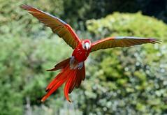 Scarlet Starlet (Ger Bosma) Tags: red yellow spread flying wings flight parrot landing exotic incoming land macau macaw scarletmacaw aramacao ararouge arakanga topicalbird araracanga geelvleugelara touchingdown guacamayomacao  aracanga bokraaf hellroteara rdara aratoskrzyda 2mg178946