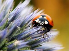 Ladybug 150712-0573 Wuhle_SOOCx_ (Pixel-Cat) Tags: macro berlin insect beetle olympus ladybug insekt omd kfer echinops marienkfer coleoptera kugeldistel wuhletal hellersdorf em5 sooc mzuiko1250mm13563iiez
