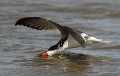 Black Skimmer with bow wave  {Explored!  Thank you!!} (Mawrter) Tags: wild sun sunlight fish motion bird nature water sunshine animal speed canon outdoors interesting wings fishing afternoon feeding action outdoor wildlife birding flight wing wave explore splash brigantine interest avian skimmer skim bowwave blackskimmer explored specanimal