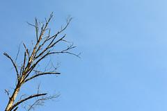 Soon to Be a Log or Two (Sotosoroto) Tags: tree washington hiking dayhike flaminggeyser flaminggeyserstatepark