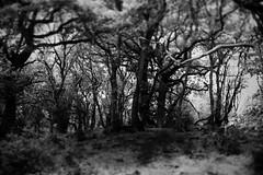 Drax Woodlands, Bloxworth, Dorset, England (a.pierre4840) Tags: trees england blackandwhite bw monochrome forest woodland noiretblanc olympus creepy dorset diorama xenon omd 25mm schneider selectivefocus kreuznach f095 em5 artfilter bloxworth cmount