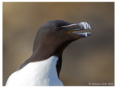DS0D5339-Razorbill,-alca-torda (duncancooke.happydayz) Tags: uk sea bird nature birds wildlife may british isle razorbill auk auks distinguishedbirds birdperfect naturesgreenpeace