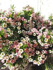 Fiori di porcellana (SimonaDiManno) Tags: flower natura fiori fiorellini fioredicera fiorediporcellana