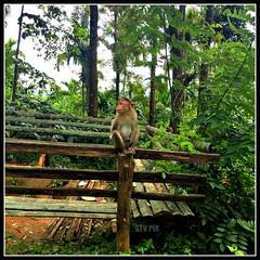 Monkey, on the way to edakkal caves. (STV    ) Tags: tourism nature animal monkey top kerala came wayanad kozhikode kannur edakkal keralatourism