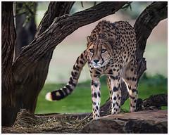 Cheetah stare (Chas56) Tags: animal animals closeup cat canon zoo feline wildlife spots bigcat stare beast cheetah upclose werribeezoo canon5dmkiii