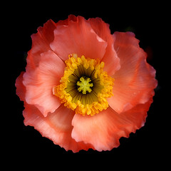 Morning poppy (Funchye) Tags: nikon poppy 60mm papaver d610 valmue