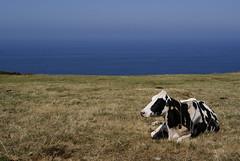 _DSC2783 (kroliver75) Tags: faro paz asturias descanso lastres vaca serenidad doctormateo