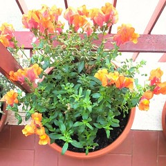 Fiorellini (PhoebeZu) Tags: flowers plant green beautiful fiori urbangarden arancione fiorellini
