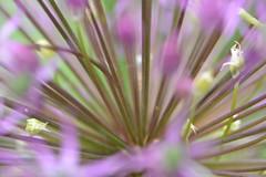 ui (snoeziesterre) Tags: flower garden purple ui onion tuin paars bloem sierui