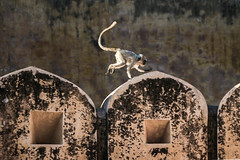 A cute little monkey in Amber Fort, Jaipur, India (inchiki tour) Tags: travel india animal monkey amber photo asia arch fort palace unesco  jaipur rajasthan worldheritage amberfort  amerfort