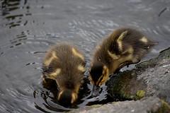 Ducklings (Glenn Pye) Tags: bird nature birds duck pond nikon wildlife ducks ducklings ponds d7200 nikond7200