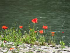 ckuchem-0402 (christine_kuchem) Tags: wild rot wasser steine stadt kanal grn ufer blte middelburg mohn kopfsteinpflaster pflasterstein stadtgrn kopfstein wachsen begrnung ziwschen wildpflanze wildwuchs feldblume