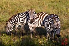 Disruptive camouflage (DragonSpeed) Tags: africa tanzania mammal safari zebra plainszebra serengetinationalpark burchellszebra commonzebra equusquagga shinyanga seroneraregion tzday02 africanwildcatsexpeditions