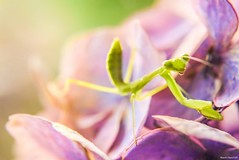 / Mantodea (March Hare1145) Tags: insect  mantodea