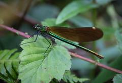 Demoiselle (arripay) Tags: ireland galway beautiful river dragonfly connemara demoiselle damselfly calopteryx dawros