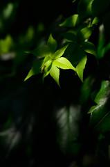 Virginia creeper (mellting) Tags: eskilstuna platser rothfossparken bloggad flickr instagram matsellting mellting nikkor5018 nikon nikond7000 sverige sweden parthenocissus parthenocissusquinquefolia vildvin virginiacreeper plant