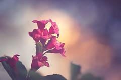 Samy deluxe (Das StadtKind - on vacancy for 1 week) Tags: samyang2135 bokeh bokehlicious dof depthoffield flower flores fleur plant petals sonyilce7 sonya7 bavaria germany europe stadtkind manuallens vinagelens popular flickr new mostinteresting kempten walimexpro2135 f2