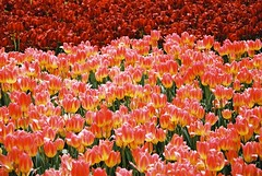 000017 (seustace2003) Tags: keukenhof nederland niederlande holland pays bas paesi bassi an sitr tulip tulp tulipan tiilip tulipa