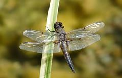 Rafz_324_21072009_11'09 (eduard43) Tags: natur nature tiere animals libelle dragonfly 2009 rafz kleinerblaupfeil orthetrumcoerulescens