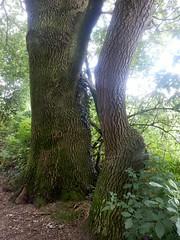 Along the Path (Quetzalcoatl002) Tags: path trees trunks forestation nature achterhoek oak