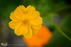 orange in the back (Aaron_Smith_Wolfe_Photography) Tags: flower yellow orange 105mmf28 fall bloom carsoncity nevada sierra