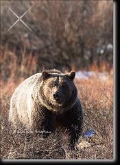 Bernie Bear, Grand Teton Grizzly (Daryl L. Hunter - Hole Picture Photo Safaris) Tags: usa closeup danger unitedstates wildlife wyoming jacksonhole grizzlybear grandtetonnationalpark berniebear