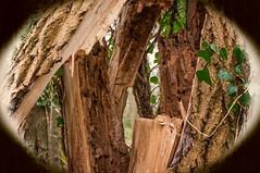 W15 (ChrisStov) Tags: trunks treetrunks rottenwood