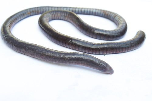 Cayenne Caecilian : Flickriver: Most interesting photos tagged with gymnophiona