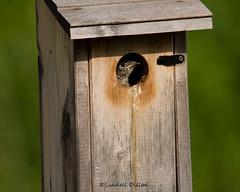 Baby bluebird (Lindell Dillon) Tags: oklahoma nature birds raw tamron easternbluebird normanok babybluebird lindelldillon
