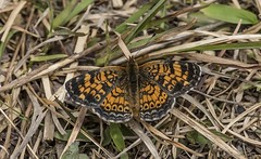 Basking Pearl Crescent (Odonata457) Tags: county anne unitedstates maryland crescent research pearl arundel patuxent refuge odenton phyciodestharos