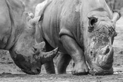 Africa Animals (Michael Zahra) Tags: africa bw nature animals rhino endangered horn mammals chinesemedicine tusk