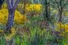 Kangaroo Paws (Axel Kayser) Tags: flora wildflowers westernaustralia kangaroopaws nativeaustralianflora