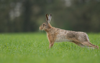 Stretching Brown Hare