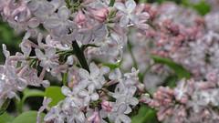 Drip (joeldinda) Tags: tree home rain weather yard sony may cybershot lilac mulliken sonycybershot 2839 2015 pocketcam sonydsch55 dsch55