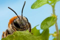 IMG_9737-1 (snomanda) Tags: blue macro nature animal canon insect eos outdoor mining bee solitary invertebrate mpe65mm mt24ex 5dmkii