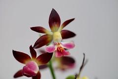 ()/Calanthe sp. -1 (nobuflickr) Tags: orchid flower nature japan kyoto    thekyotobotanicalgarden  ebine  japanesorchid awesomeblossoms  calanthesp  20160503dsc08627