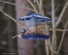 Morning Snack (awaketoadream) Tags: winter snow ontario canada bird wildlife hilton conservation feeder falls hills southern chickadee area snowing halton