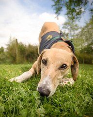 Danny (10 of 12) (d3max) Tags: charity summer rescue dogs canon tan canine volunteering lurcher rehoming 5dmk3 martinhillphotography woodgreenanimalcharity