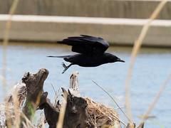 Crow () (Greg Peterson in Japan) Tags: birds japan wildlife rivers crows shiga jpn moriyama shigaprefecture yasugawa rittocity