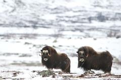 Musk Oxen (Fredrik Stige/Wildlife Photography) Tags: snow mountains nature animal norway spring wildlife mammals muskox